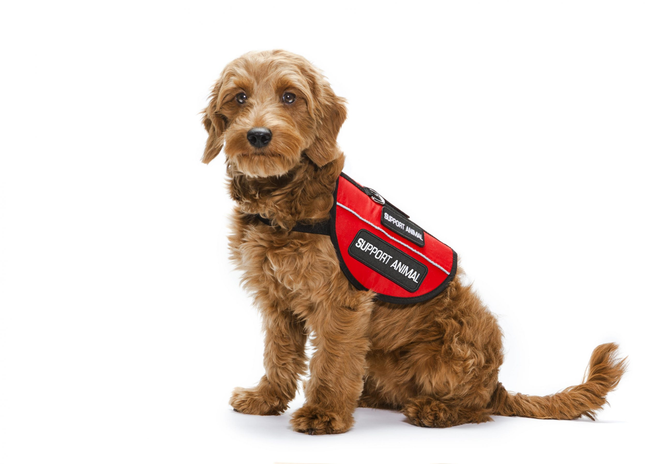 """Therapy Service Dogs and Guide Dogs for the Blind"""